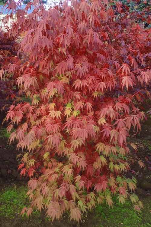 Buy Orange Flame Japanese Maple Free Shipping Trees For Sale