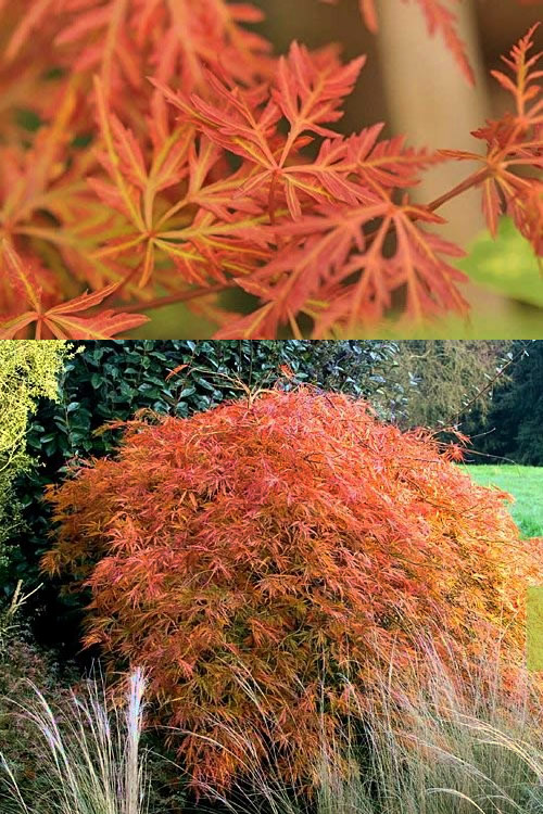 Buy Orangeola Weeping Japanese Maple Free Shipping Trees For