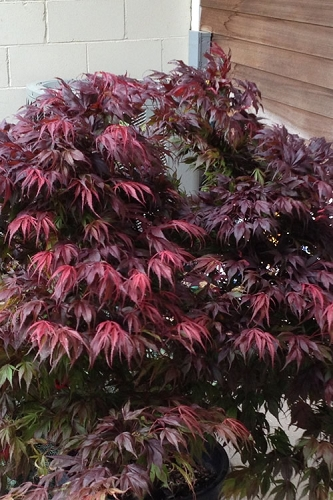 Oregon Sunset Japanese Maple - Acer Palmatum - 5 Gallon Pot