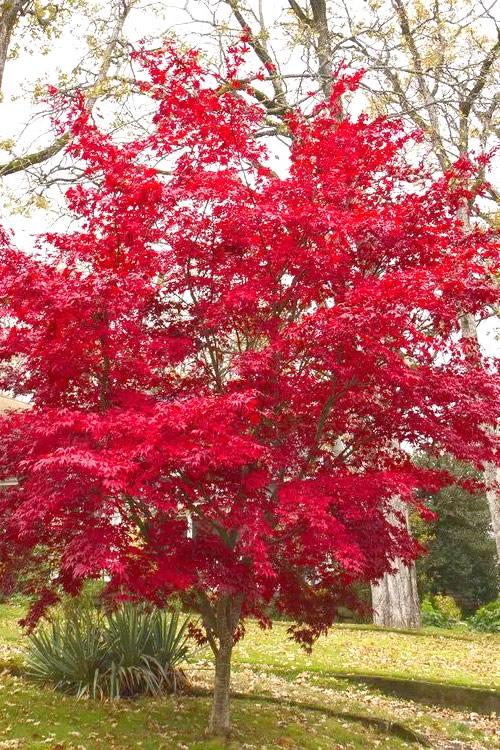 Buy Osakazuki Japanese Maple Free Shipping Trees For Sale Online