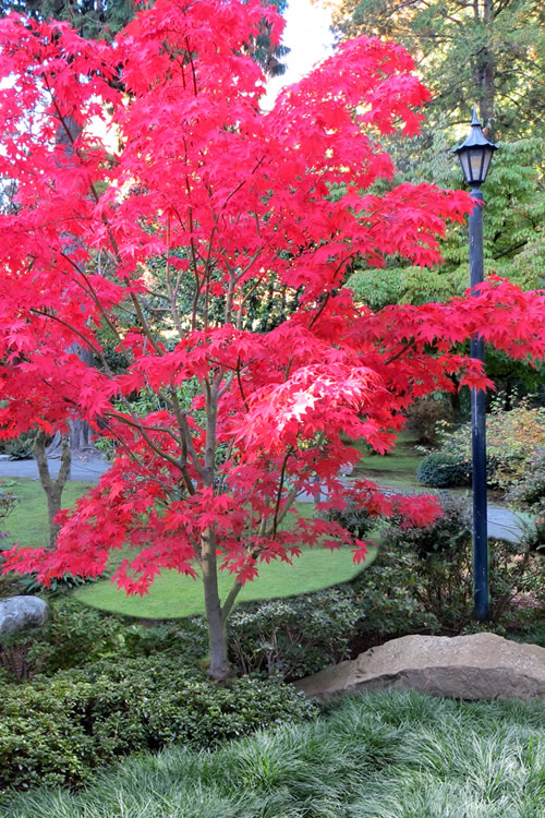 Buy osakazuki japanese maple trees for sale online from for Maple trees for sale
