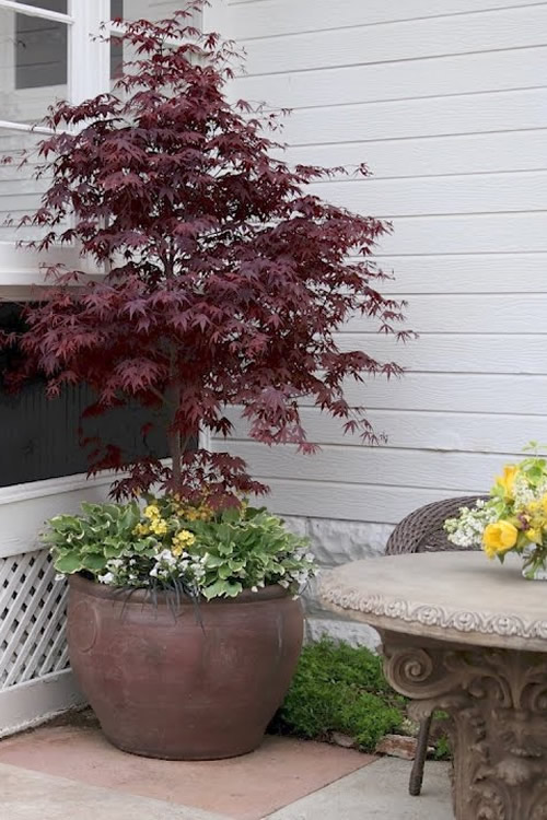 Buy Pixie Dwarf Red Japanese Maple Free Shipping Trees