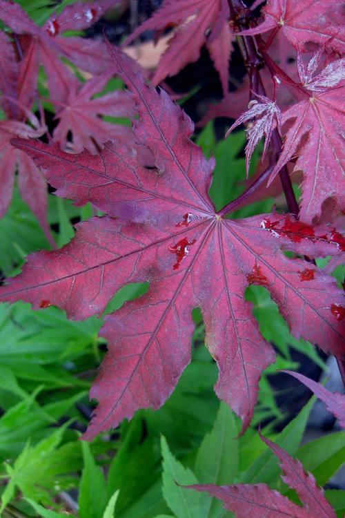 Buy Purple Ghost Japanese Maple 5 Gallon Pot Size Trees