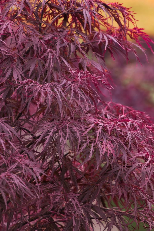 Buy Red Dragon Dwarf Japanese Maple Free Shipping 3