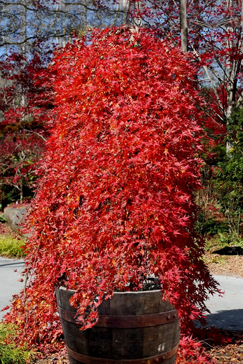Buy Ryusen Japanese Maple Free Shipping Acer Palmatum Tree For