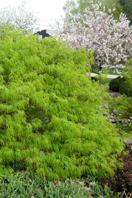 Viridis Dwarf Green Japanese Maple 1 Gallon Pot