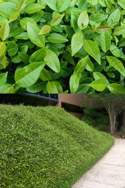 Perennial Ground Cover Full Sun: Buy Asian Or Asiatic Jasmine For Sale Online From Wilson