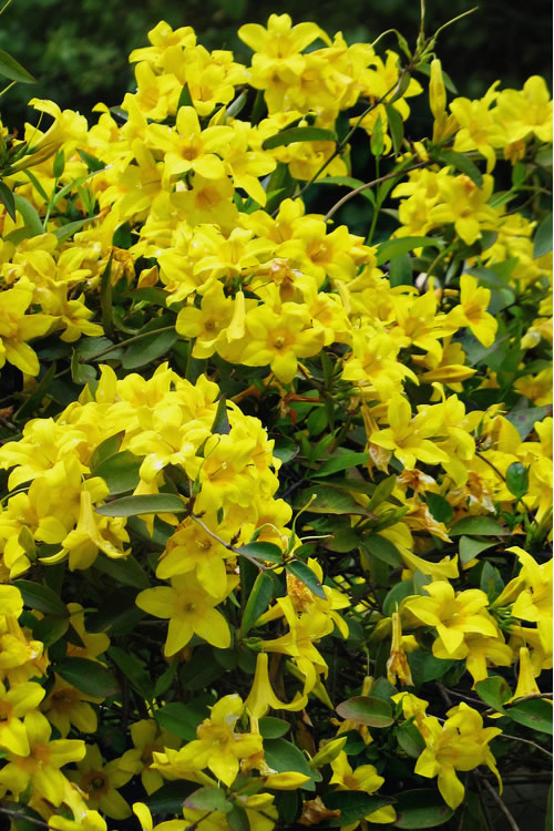 Buy Butterscotch Yellow Jessamine Free Shipping For Sale Online