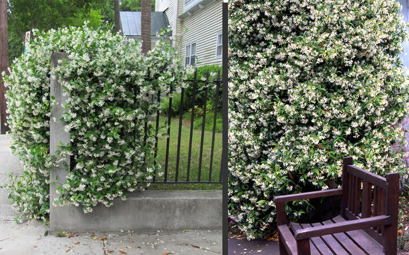 Buy Madison Confederate Jasmine Free Shipping 1 Gallon