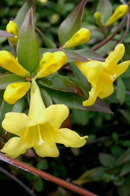 Swamp Carolina Jasmine (Jessamine) - Gelsemium rankinii - 2 Gallon Pot
