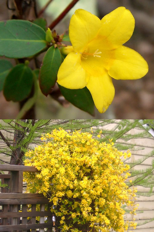 Buy Swamp Jessamine Jasmine Vines For Sale Online From