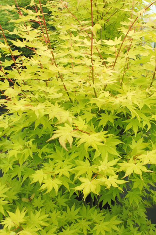 Buy Summer Gold Japanese Maple Free Shipping 3 Gallon Size Trees