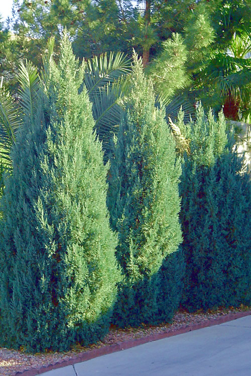 Buy Blue Point Juniper For Sale Online From Wilson Bros