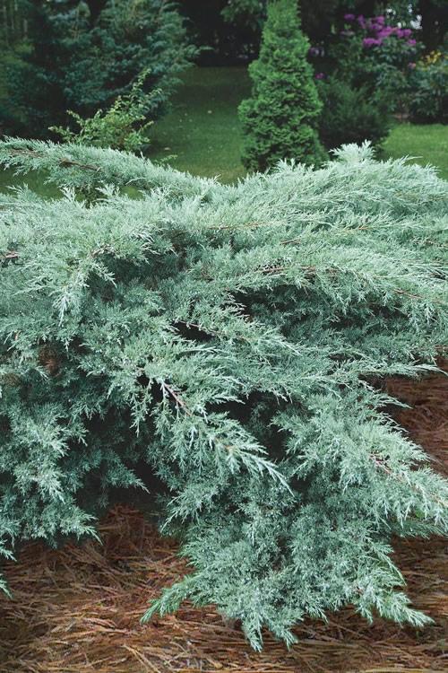 Buy Grey Owl Juniper Plants Free Shipping 1 Gallon Size Pot