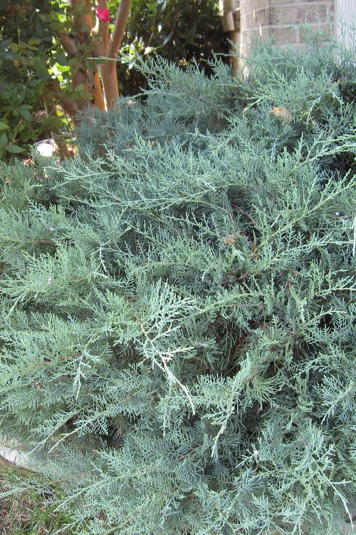 Buy Grey Owl Juniper For Sale Online From Wilson Bros Gardens