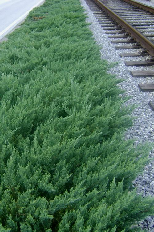 Buy Parsons Juniper Plants Free Shipping Juniperus Divurica