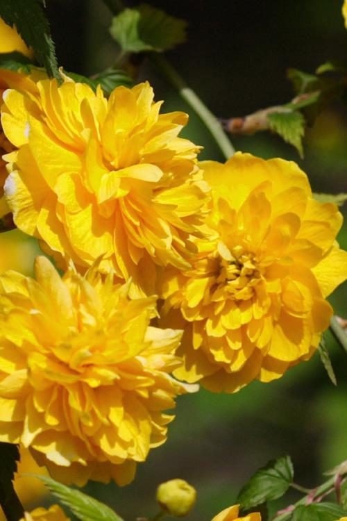 Buy Japanese Kerria Japonica Floriplena Free Shipping
