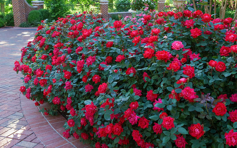 Buy Red Double Knock Out Rose Free Shipping 1 Gallon