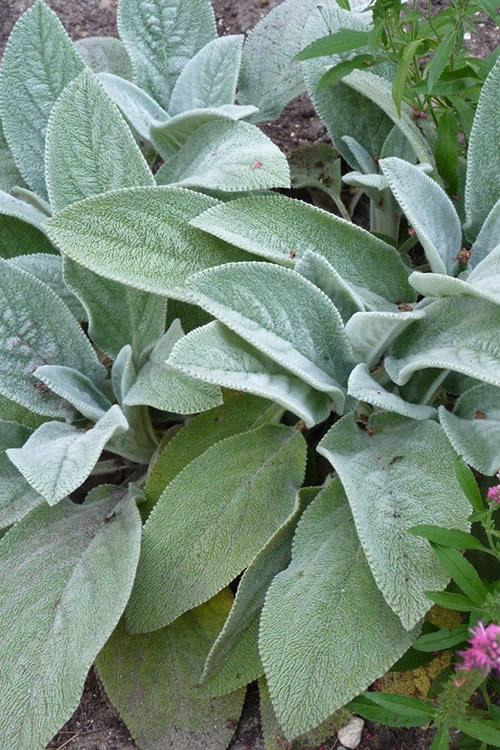 'Helen Von Stein' is a low-growing Lamb's Ear cultivar that produces a dense, silver carpet in the landscape or garden. Get all the details below!