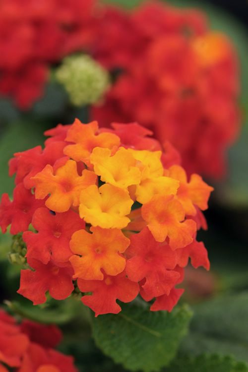 Buy Little Lucky Red Lantana Plants Free Shipping 5 Pot Size