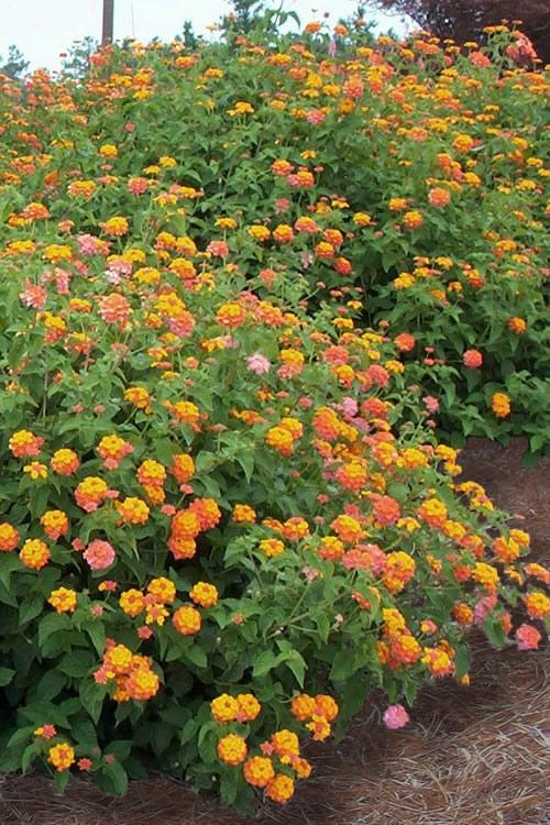 Buy Miss Huff Cold Hardy Lantana Plants Free Shipping 35 Pot