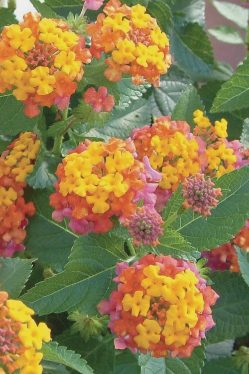 Miss Huff Hardy Lantana - 1 Gallon Pot