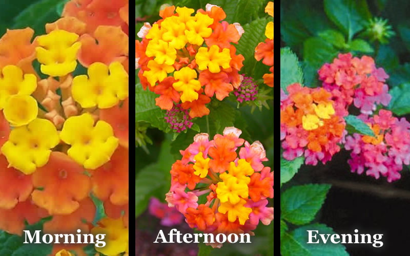 Buy sonset hardy lantana for sale online from wilson bros gardens add to wish list mightylinksfo