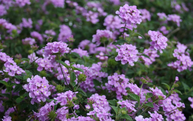 Buy Trailing Lavender Lantana Free Shipping 1 Gallon Size Plants