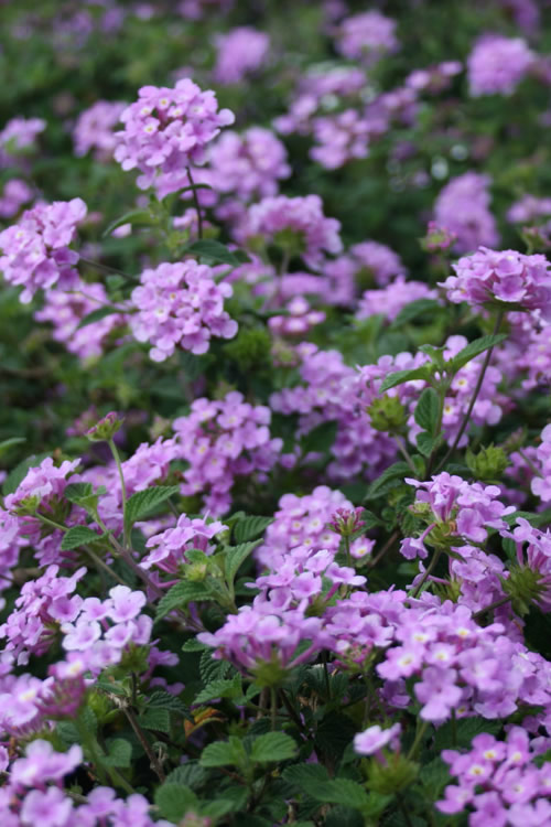 Buy Trailing Lavender Lantana For Sale Online From Wilson