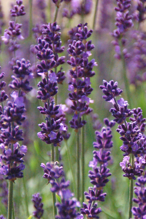 Buy Phenomenal Lavender Herb Plants Free Shipping 5