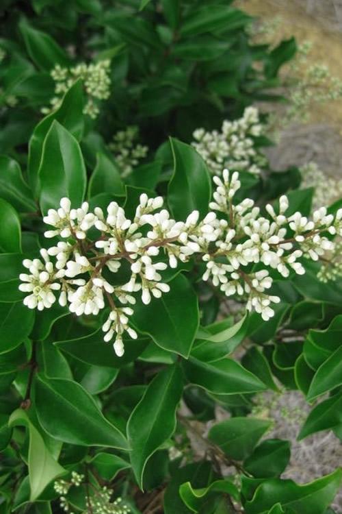 buy wavy leaf ligustrum recurvifolia for sale online from