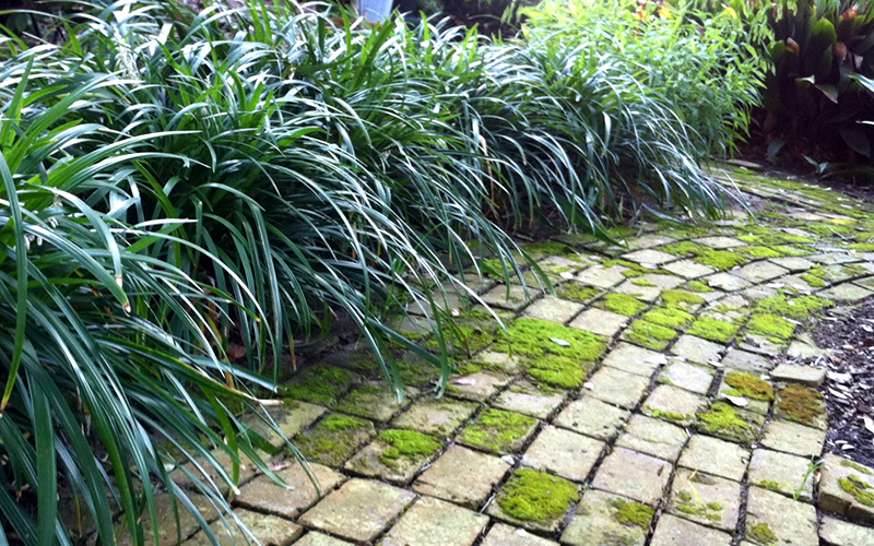 Buy Evergreen Giant Liriope Lily Turf For Sale Online From Wilson