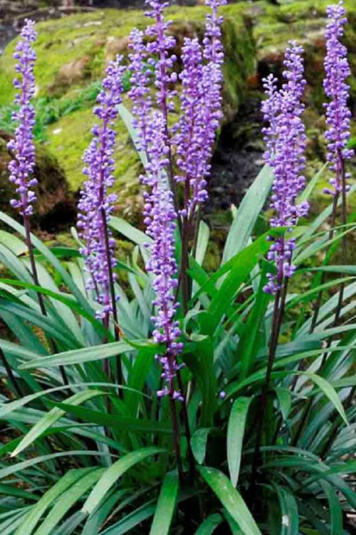Buy Majestic Liriope Lilyturf For Sale Online From Wilson Bros Gardens