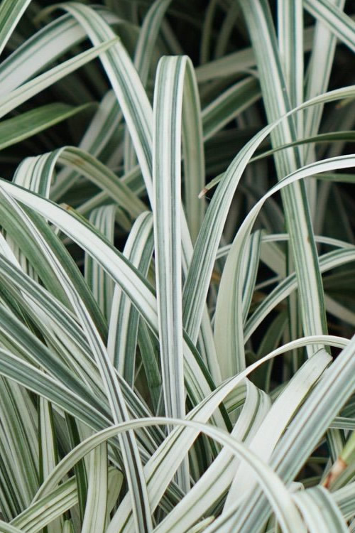 Silver Dragon Liriope - Lilyturf - 18 Count Flats of 4