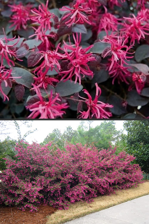 Buy Plum Delight Loropetalum For Sale Online From Wilson Bros Gardens