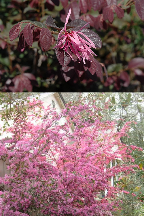 Buy sizzling pink loropetalum shrubs for sale online from wilson the stunning flower show is followed by the emergence of attractive deep burgundy new leaves that turn to a lovely bronze green with a purple tinge mightylinksfo