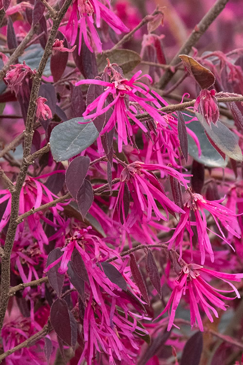 Zhuzhou Loropetalum - Chinese Fringeflower - 3 Gallon Pot