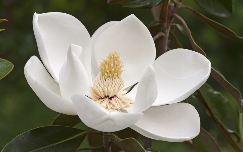 Buy Alta Southern Magnolia Tree Free Shipping For Sale From