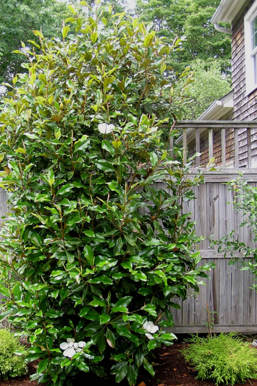 Buy Alta Southern Magnolia Tree - Free Shipping