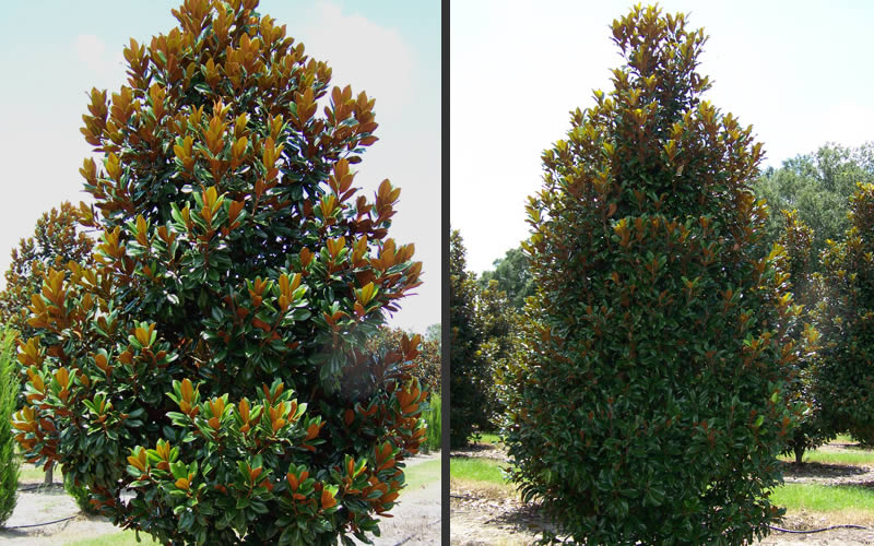 Buy D D Blanchard Southern Magnolia Free Shipping Trees For