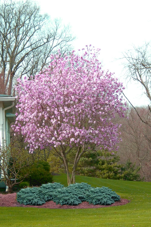 Buy Jane Magnolia Tulip Trees Free Shipping 2 Gallon Size For