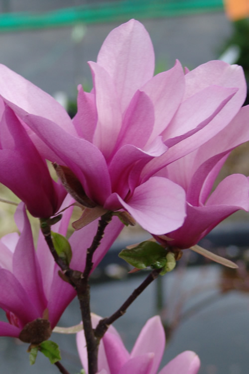 Buy Jane Magnolia Tulip Trees Free Shipping 2 Gallon Size