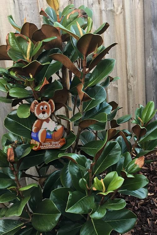 Buy Teddy Bear Dwarf Southern Magnolia Free Shipping 3 Gallon