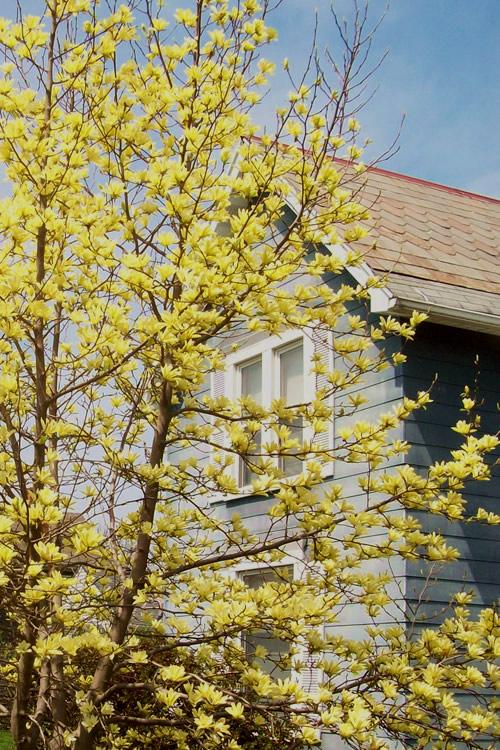 Buy Yellow Bird Magnolia Free Shipping 3 Gallon Pot Size Tulip