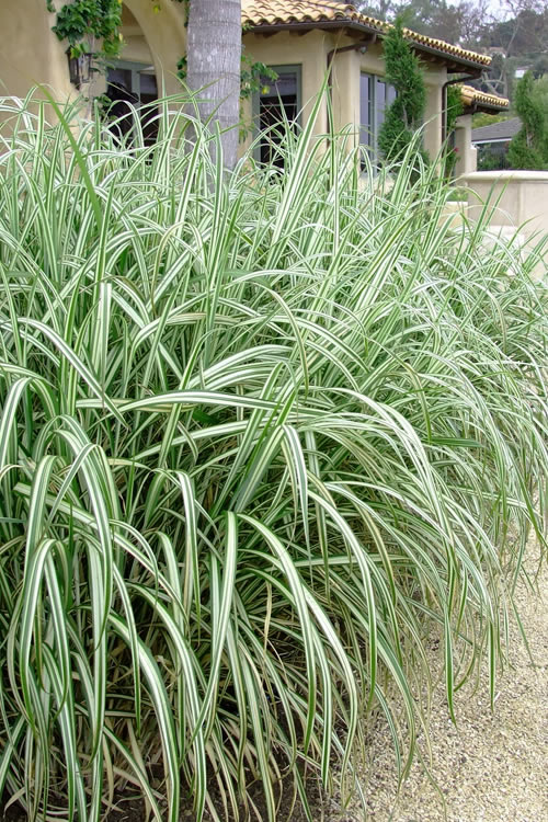 Buy Variegated Maiden Grass - FREE SHIPPING - 3 Gallon