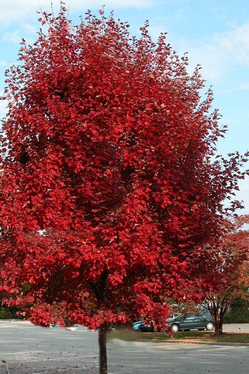 Buy Brandywine Maple Tree For Sale Online From Wilson Bros