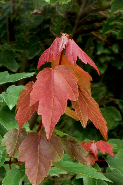 Summer Red Maple Tree 2 Gallon Pot