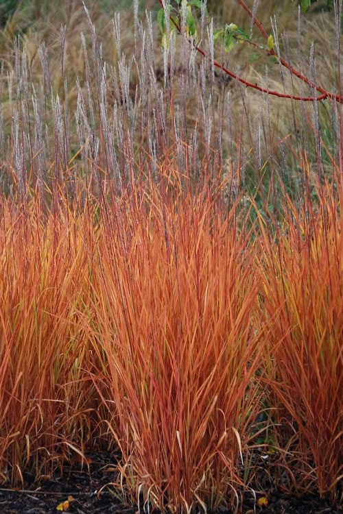 buy miscanthus purpurascens flame grass free shipping