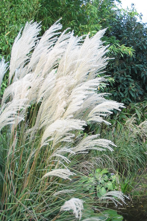buy silver feather maiden grass miscanthus sinensis for. Black Bedroom Furniture Sets. Home Design Ideas