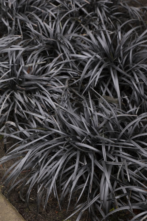 Buy Black Mondo Grass Plants Free Shipping 1 Gallon
